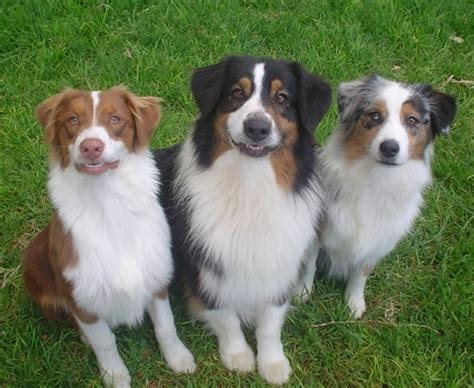 australian shepherd names 116 best images about aussies 2 on