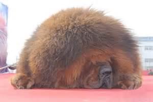 Tibetan mastiff exhibition in hebei several mastiffs cost more