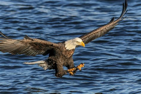 pictures of bald bald eagles spotted near o hare signal a comeback