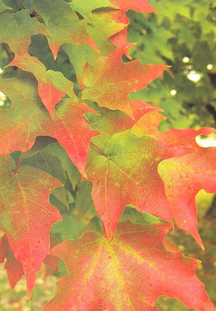 maple tree value sugar maple tree arbor hill tree farm