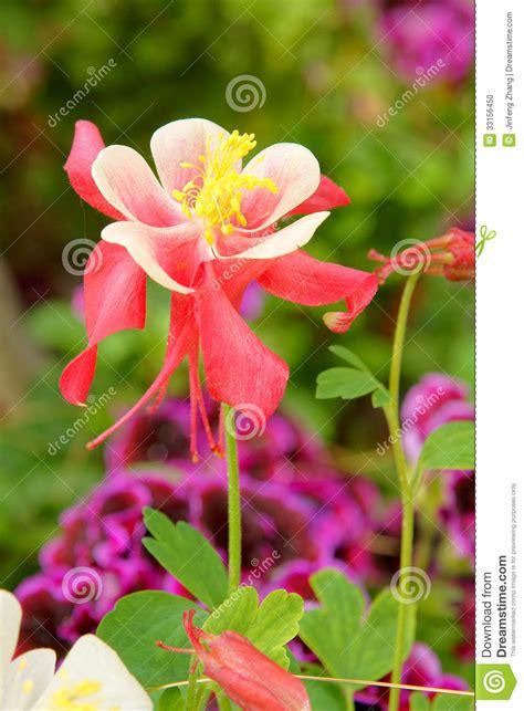 columbine flowers stock photo image 33156450