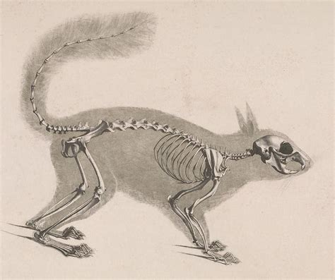 squirrel anatomy diagram image gallery squirrel skeleton