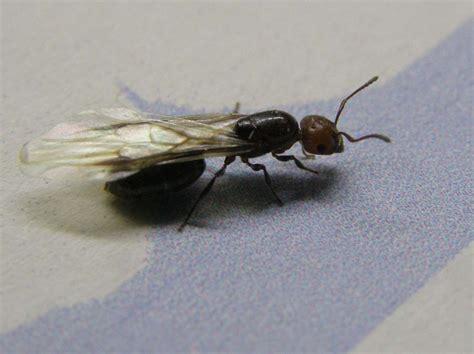 formica volante formica alata femmina di creamatogaster scutellaris
