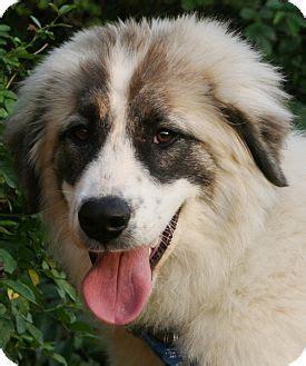 great shepherd puppies great pyrenees anatolian shepherd mix animal kingdom anatolian