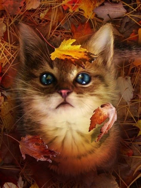 cute kitty fall leaves pictures   images