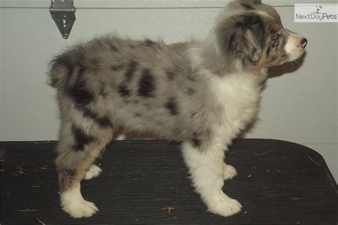 australian shepherd puppies wisconsin australian shepherd puppy for sale near wisconsin 59ad6530 6c51