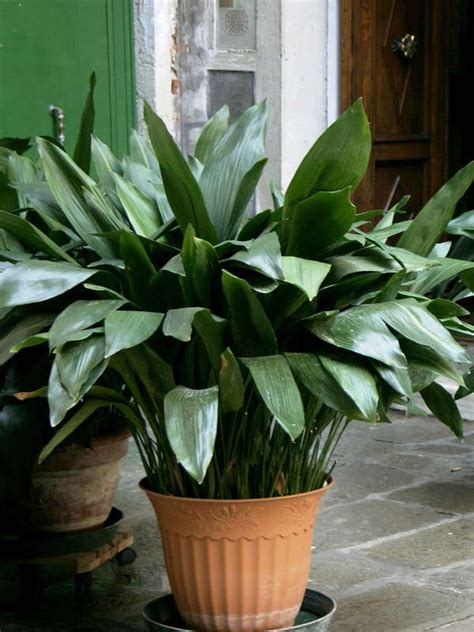 Outdoor Plants That Don T Need Sunlight by Plantas De Interior Sin Flor Para Animar La Casa O Tu Oficina