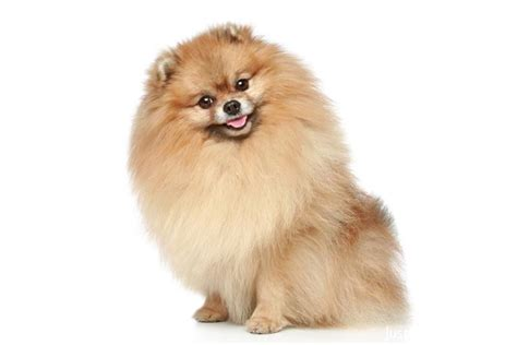 pomeranian breeds list smartest breeds list related keywords smartest breeds list