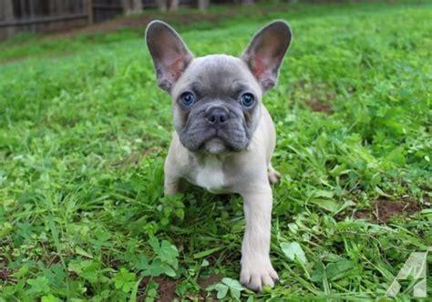 akc blue fawn french bulldog puppy  sale  escondido california classified americanlistedcom