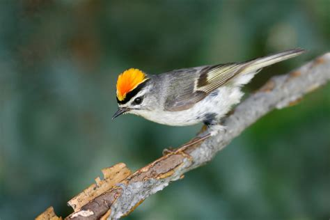 what is a bird golden crowned kinglet audubon field guide