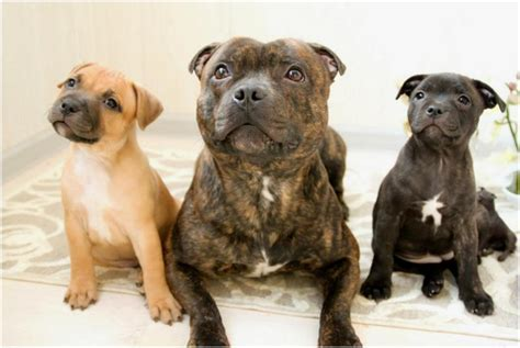 staffordshire bull terrier puppies for adoption staffordshire bull terrier puppies rescue pictures breeders temperament