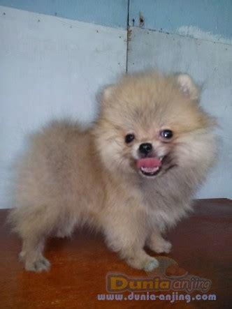 show me a pomeranian dunia anjing jual anjing pomeranian dijual mini pomeranian show quality