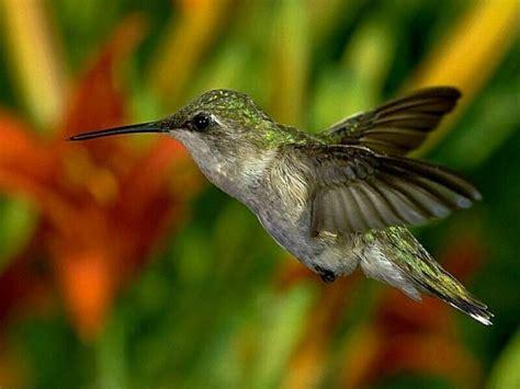 desktop nature wallpaper america world small bird humming