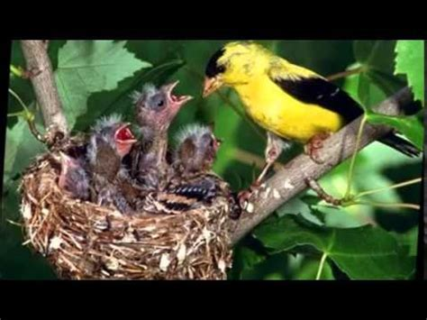 what do baby birds eat without their mother youtube