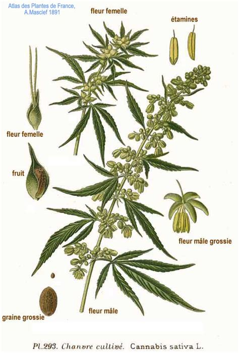cannabis fiore the effects of cannabis l seed hempseed in the