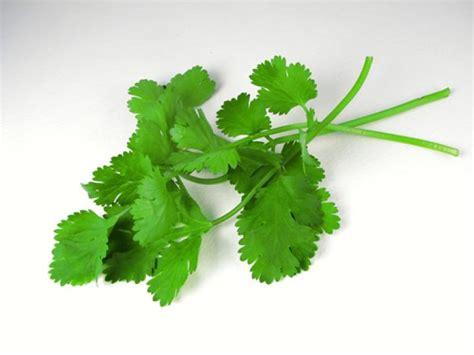 Cilantro Coriander Leaves coriander and cilantro planting growing and harvesting coriander and cilantro the