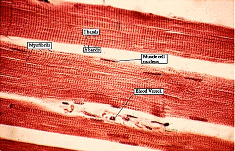 skeletal muscle longitudinal section muscle slide 4