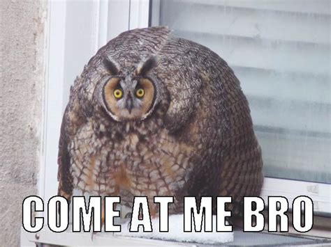 Who Owl Meme - hilariously adorable owl memes 7