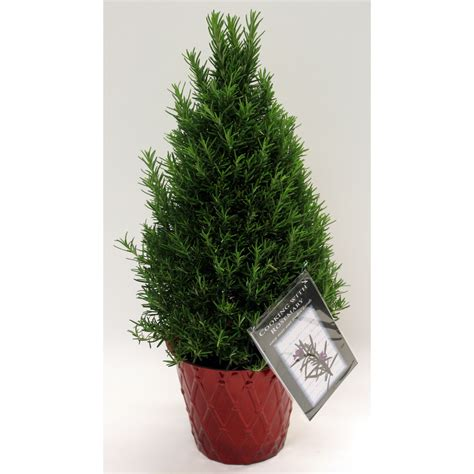 28 best rosemary christmas tree lowes ozarks gardening
