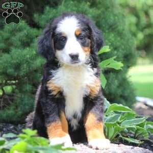 bernese mountain puppies pa bernese mountain puppies for sale greenfield puppies