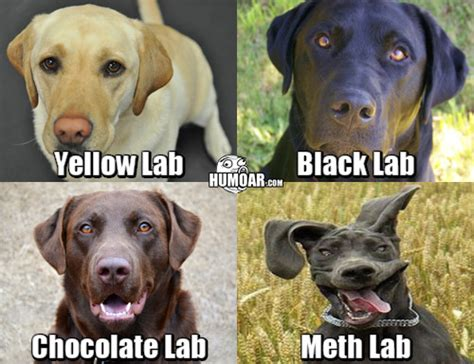 meth lab black lab chocolate lab meth lab breeds picture