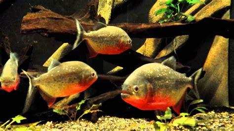 Piranha Terraria