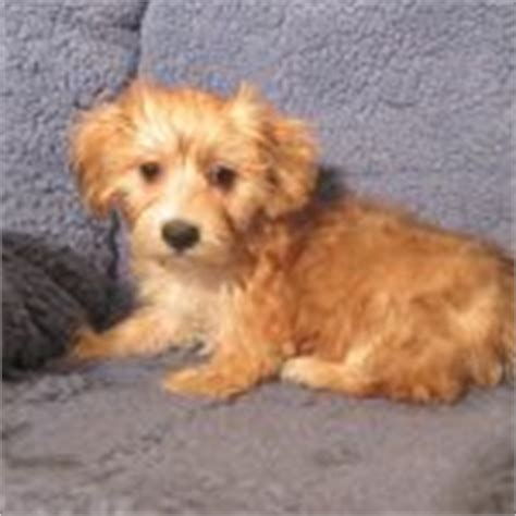 yorkie ton temperament great danoodle great dane x poodle mix info temperament puppies pictures