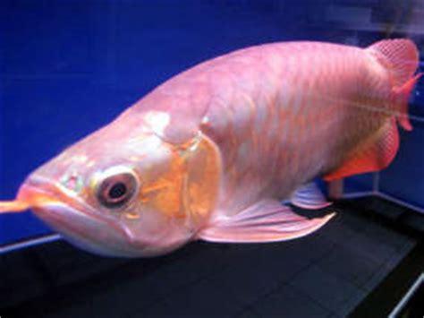 Bibit Arwana Jogja 4 ikan arwana raksasa di indonesia harga ikan arwana