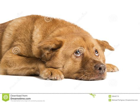 dogs lying lying and looking up royalty free stock photo image 30840775