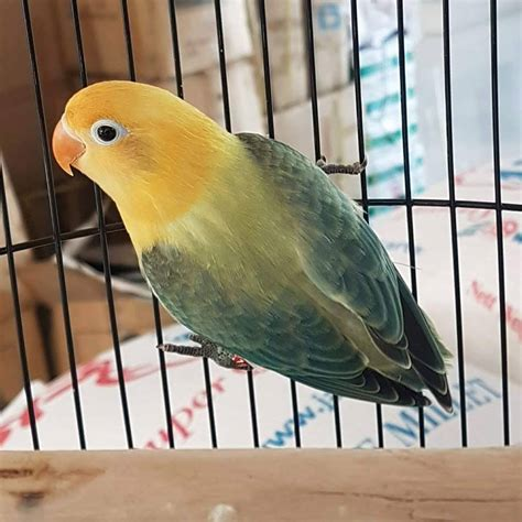 dunia burung mengenal lebih dalam lovebird euwing dan