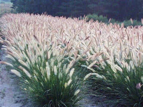 types of ornamental grasses grass type grasses and televisions