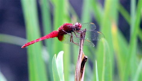 Dragonfly Project file red dragonfly in tokyo japan jpg wikimedia commons