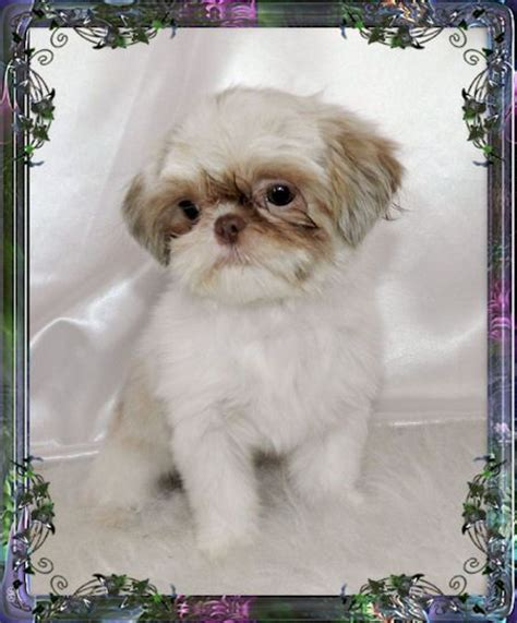 imperial shih tzu puppies for sale in ct 17 best images about cuties on connecticut cavalier king charles and