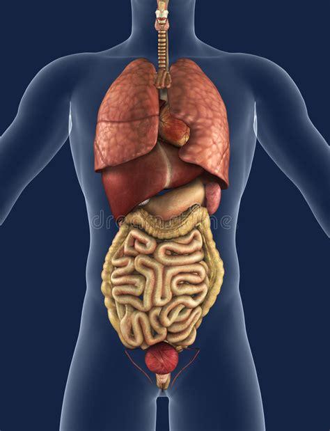 organi interni uomo vista frontale degli organi interni immagine stock libera