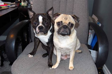 boston terrier pug puppies all list of different dogs breeds designer dogs