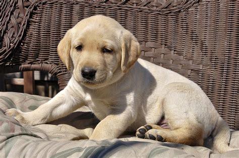 labrador retriever puppy on bench photograph by barbara rich