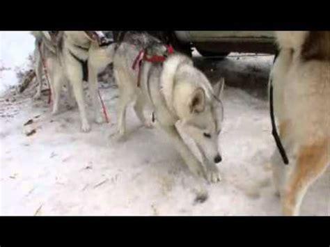 dogs 101 husky dogs 101 siberian husky