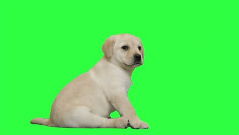 puppy screen on green screen stock footage 4522022