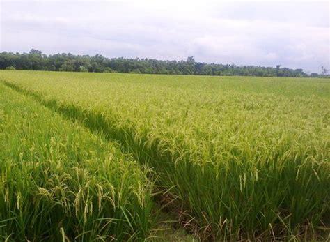cara membuat zpt organik untuk tanaman padi jenis jenis pupuk padi dosis dan waktu yang tepat