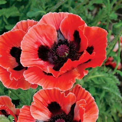 oriental poppy plant project inspiration pinterest