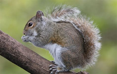 5 interesting facts about gray squirrels you may not have