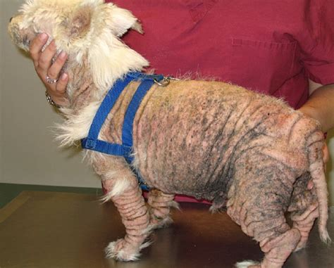 flea dermatitis dogs with carf that mimics severe flea allergy dermatitis with secondary malassezia and