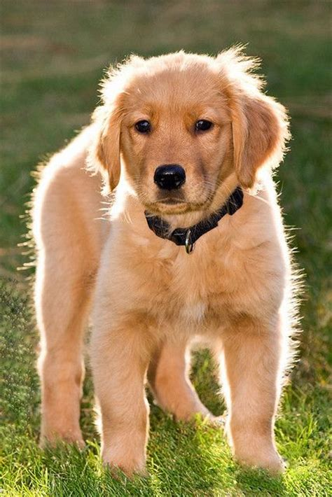 golden retriever loyal the world s catalog of ideas
