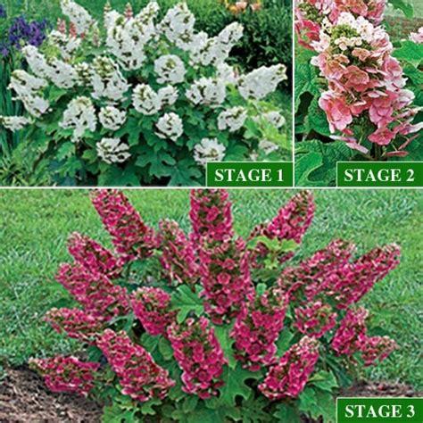 ruby slippers hydrangea ruby slippers oakleaf hydrangea flowers and