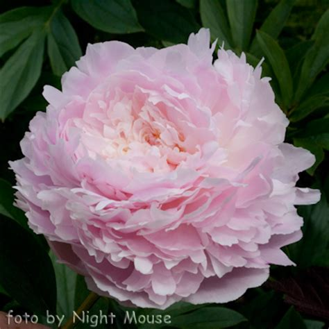 herbaceous peony pillow talk paeonia 36 quot bloom