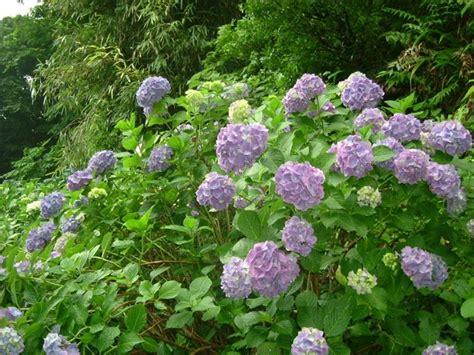 fiori simili alle fiori simili alle ortensie piante ricanti ad effetto