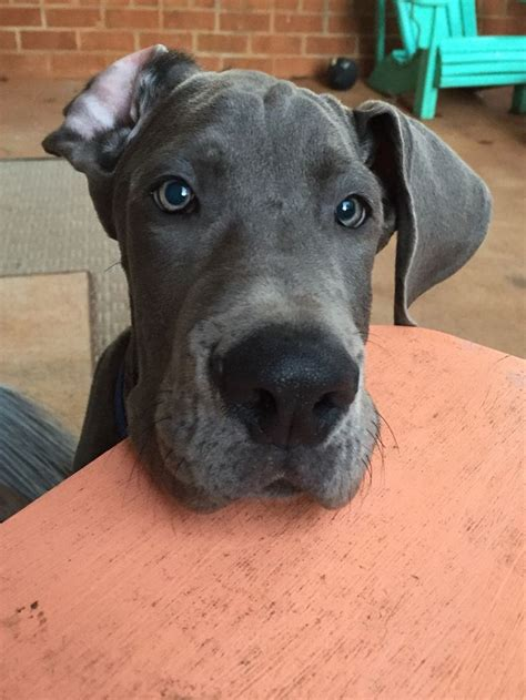great dane puppies maine best 25 blue great danes ideas on great dane dogs gran danes and great