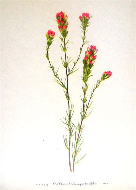 indian paintbrush tattoo indian paintbrush botanical drawing search