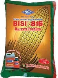 Benih Jagung Bisi 816 jagung hibrida budidaya jagung hibrida