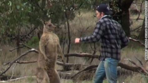 kangaroo punch shows punch kangaroo to save his cnn
